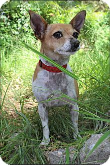 Chihuahua/Terrier (Unknown Type, Small) Mix Dog for adoption in Los Angeles, California - SUGAR - TV STAR +VIDEO!