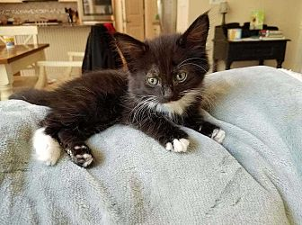 Domestic Shorthair Kitten for adoption in Woodstock, Georgia - Mr. Hyde