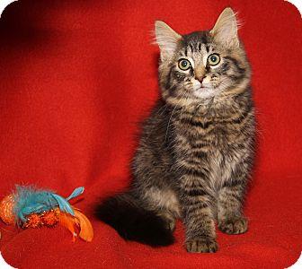 Maine Coon Cat for adoption in Marietta, Ohio - Magnus (Neutered)