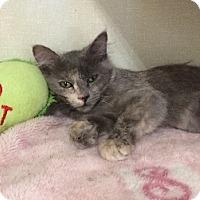 Domestic Mediumhair Kitten for adoption in Woodland Hills, California - Phoebe