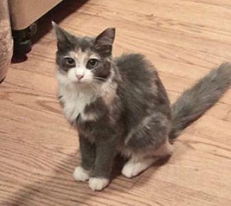 Domestic Mediumhair Kitten for adoption in Colorado Springs, Colorado - Hope