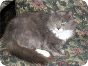 American Shorthair Cat for adoption in Poway, California - Lady Jane