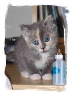 Domestic Mediumhair Kitten for adoption in Rolling Hills Estates, California - Bottle Feeder #1