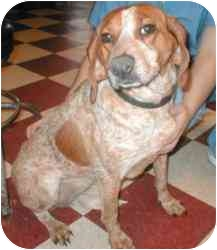 English (Redtick) Coonhound/Beagle Mix Dog for adoption in Rockville, Maryland - Lucy