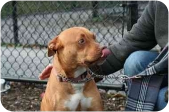 American Pit Bull Terrier Mix Dog for adoption in Islip, New York - Amber