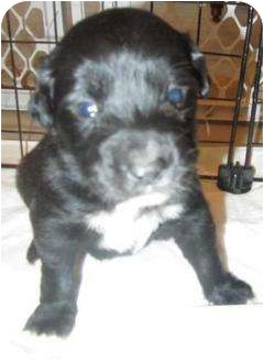 Border Collie/Golden Retriever Mix Puppy for adoption in Calumet City, Illinois - Jade