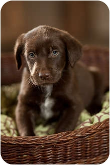 Labrador Retriever Mix Puppy for adoption in Portland, Oregon - Conan