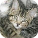 Domestic Shorthair Kitten for adoption in Wheaton, Illinois - Kramer