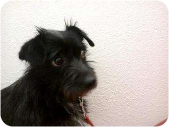Terrier (Unknown Type, Small) Mix Puppy for adoption in Lake Forest, California - Chino