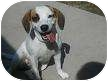 Beagle/Terrier (Unknown Type, Medium) Mix Dog for adoption in Houston, Texas - Bailey