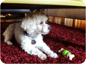 Poodle (Miniature) Dog for adoption in Rancho Mirage, California - Precious
