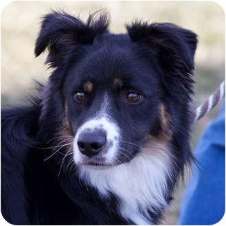 Australian Shepherd Dog for adoption in Washington, Illinois - Romero