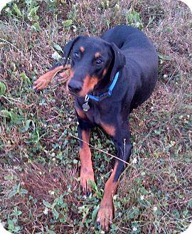 Doberman Pinscher Dog for adoption in New Richmond, Ohio - Blake--adopted!!
