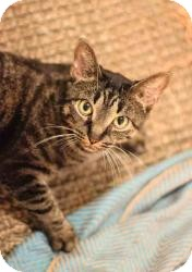 Domestic Shorthair Cat for adoption in Brooklyn, New York - ANGELA