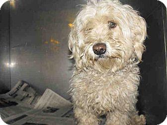 Miniature Poodle Mix Dog for adoption in Las Vegas, Nevada - CJ