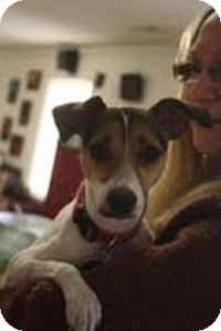 Jack Russell Terrier Mix Dog for adoption in Marietta, Georgia - Emily