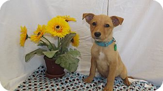 Shepherd (Unknown Type) Mix Puppy for adoption in Marshall, Texas - Tawny