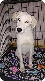 Labrador Retriever/Shepherd (Unknown Type) Mix Puppy for adoption in Las Cruces, New Mexico - Gallup