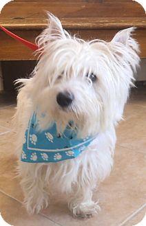 Westie, West Highland White Terrier Dog for adoption in Middletown, New York - Nikko