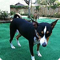 Adopt A Pet :: Ada - Seminole, FL
