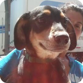 Shepherd (Unknown Type) Mix Puppy for adoption in Brooklyn, New York - Lulu