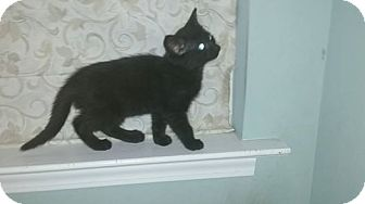 Domestic Shorthair Kitten for adoption in Cary, North Carolina - Shadow
