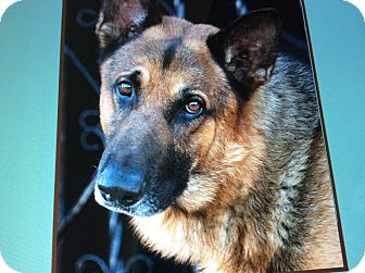 German Shepherd Dog Dog for adoption in Los Angeles, California - RANGER-REX VON ROTH
