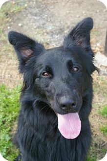 German Shepherd Dog/Collie Mix Dog for adoption in Brooksville, Florida - Andy