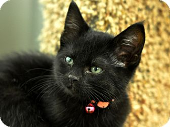 Domestic Shorthair Kitten for adoption in Great Falls, Montana - Binx