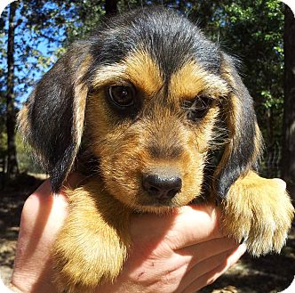 Terrier (Unknown Type, Small)/Beagle Mix Puppy for adoption in SOUTHINGTON, Connecticut - Charlize