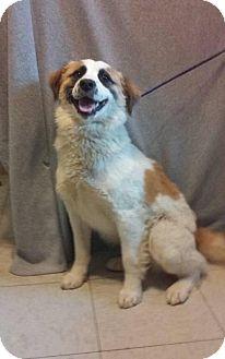 Great Pyrenees/Australian Shepherd Mix Dog for adoption in Greenville, Kentucky - Ashley