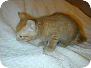 Domestic Shorthair Kitten for adoption in Bernardsville, New Jersey - Dorito