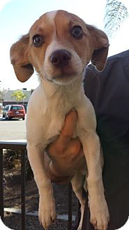 Jack Russell Terrier/Dachshund Mix Puppy for adoption in Westminster, California - Dwight