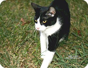 Domestic Shorthair Cat for adoption in Houston, Texas - Turbo