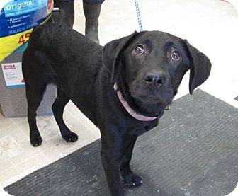 Labrador Retriever Mix Dog for adoption in Fishkill, New York - Dixie