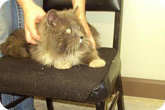 Domestic Longhair Cat for adoption in Mt. Vernon, Illinois - Hubie
