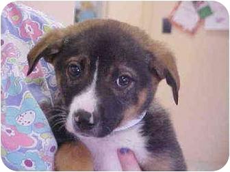Collie/Sheltie, Shetland Sheepdog Mix Puppy for adoption in Burnsville, North Carolina - Bounce