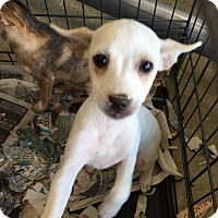 Adopt A Pet :: Chihuahua/Daschund pup white - Pompton Lakes, NJ