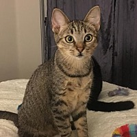 Domestic Shorthair Cat for adoption in Los Angeles, California - Bandit