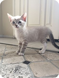 Siamese Kitten for adoption in Cerritos, California - Tucker