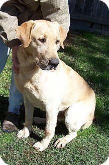 Labrador Retriever Mix Dog for adoption in Lafayette, Louisiana - N Dallas