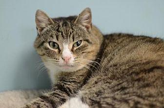 Domestic Shorthair Cat for adoption in Atlanta, Georgia - Nylea170234