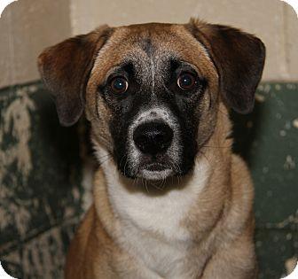 Terrier (Unknown Type, Medium)/Shepherd (Unknown Type) Mix Dog for adoption in Marietta, Ohio - Baxter