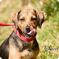 Adopt A Pet :: Sweet Tea (Sweetie) - Middleburg, FL
