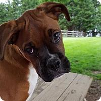 Adopt A Pet :: BoBo - Westminster, MD