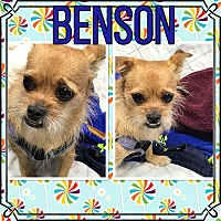 Brussels Griffon/Terrier (Unknown Type, Medium) Mix Dog for adoption in St. john, Indiana - Benson