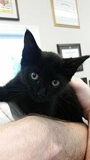 Domestic Shorthair Kitten for adoption in Alpharetta, Georgia - KITTEN Storm