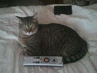 Domestic Shorthair Cat for adoption in Minneapolis, Minnesota - Killian