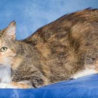 Adopt A Pet :: Pebbles (FIV +) - Tinley Park, IL