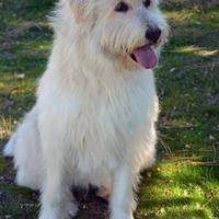 Airedale Terrier Mix Dog for adoption in Mountain Center, California - Triscuit